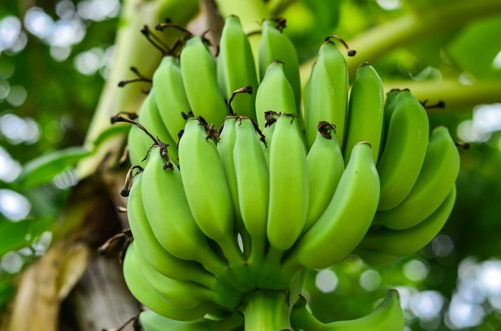 Green Banana Shelf Life
