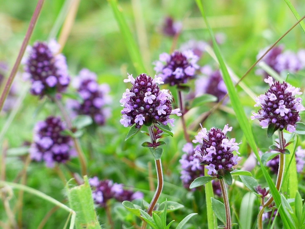 Thyme – Sage aromatic cousin